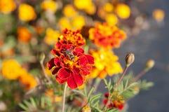 flor de la maravilla con la abeja Imagenes de archivo