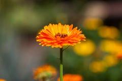 Flor de la maravilla de Tagetes. Officinalis del Calendula. Fotos de archivo