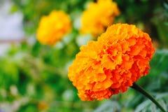 Flor de la maravilla del amarillo anaranjado Imágenes de archivo libres de regalías