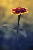 Flor de la maravilla en la puesta del sol Fotografía de archivo libre de regalías