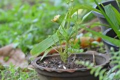 Flor de la maravilla de maíz Imágenes de archivo libres de regalías