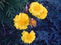 Flor de la maravilla que florece en Gheorgheni Foto de archivo libre de regalías