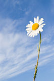 Flor de la margarita imagenes de archivo