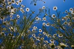 Flor de la margarita Foto de archivo libre de regalías