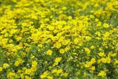 Flor de la margarita Fotografía de archivo libre de regalías