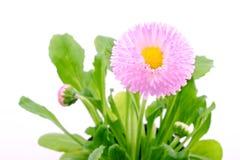 Flor de la margarita Fotos de archivo