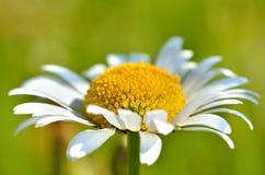 Flor de la margarita Imagen de archivo libre de regalías