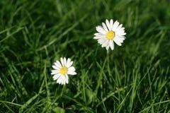 Flor de la margarita Fotografía de archivo