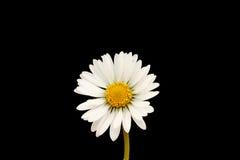 Flor de la margarita Fotos de archivo libres de regalías