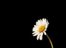 Flor de la margarita Imágenes de archivo libres de regalías