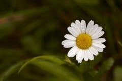 Flor de la margarita Foto de archivo