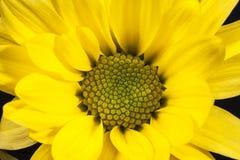 Flor de la margarita amarilla y de x28; Vulgare& x29 del Leucanthemum; Foto de archivo