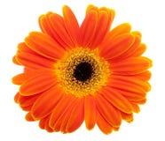Flor de la margarita anaranjada Imagen de archivo libre de regalías