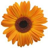 Flor de la margarita anaranjada Foto de archivo libre de regalías
