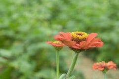 Flor de la margarita anaranjada en el jardín Fotografía de archivo libre de regalías