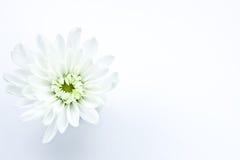 Flor de la margarita blanca Fotografía de archivo