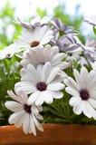 Flor de la margarita blanca Imagen de archivo