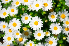 Flor de la margarita blanca Imagenes de archivo