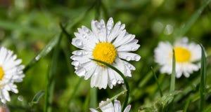 Flor de la margarita blanca con descensos Fotos de archivo libres de regalías