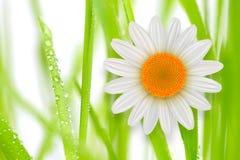 Flor de la margarita blanca del whith de la hierba del fondo de la flor fotos de archivo libres de regalías