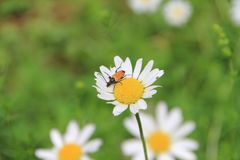 Flor de la flor de la margarita blanca en el jardín imagen de archivo