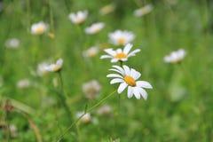 Flor de la flor de la margarita blanca en el jardín imagenes de archivo