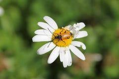 Flor de la flor de la margarita blanca en el jardín foto de archivo libre de regalías