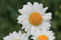 Flor de la flor de la margarita blanca en el jardín imágenes de archivo libres de regalías