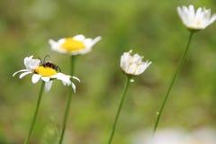 Flor de la flor de la margarita blanca en el jardín fotos de archivo