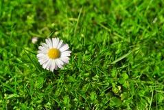 Flor de la margarita blanca en la hierba Fotografía de archivo libre de regalías