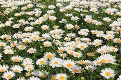 Flor de la margarita blanca en prado Imagen de archivo libre de regalías