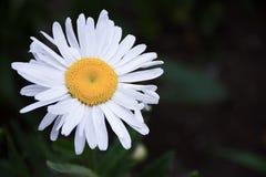 Flor de la margarita blanca - planta silvestre Moonflower del jardín de la primavera del graminifolium del Leucanthemum Foto de archivo