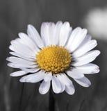 Flor de la margarita común en la floración Imagenes de archivo