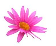 Flor de la margarita con el camino de recortes Imagen de archivo libre de regalías