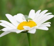 Flor de la margarita con el insecto verde Imágenes de archivo libres de regalías