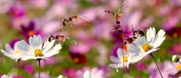 Flor de la margarita con el soporte de la hormiga en él fotos de archivo