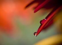 Flor de la margarita con gotas hermosas Imagen de archivo
