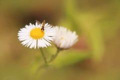 Flor de la margarita con la abeja Fotos de archivo