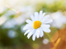 Flor de la margarita con la llamarada de la lente Fotografía de archivo libre de regalías
