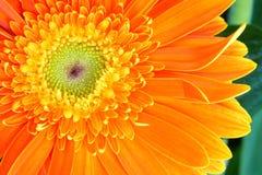 Flor de la margarita de Barberton Imágenes de archivo libres de regalías