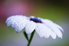 Flor de la margarita de la lluvia del cabo con descensos del agua Imagenes de archivo