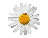 Flor de la margarita de ojo de buey Imagenes de archivo