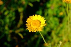 Flor de la margarita de oro imágenes de archivo libres de regalías