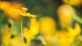 Flor de la margarita de Singapur Foto de archivo