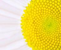 Flor de la margarita - del centro macro amarilla ultra Imagenes de archivo