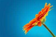 Flor de la margarita del Gerbera aislada en fondo azul Fotografía de archivo