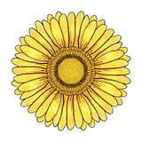 Flor de la margarita del Gerbera, cabeza amarilla colorida aislada en el fondo blanco, ejemplo floral Pluma y tinta exhaustas del stock de ilustración