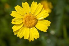 Flor de la margarita del maíz Fotos de archivo