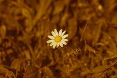 Flor de la margarita el día soleado foto de archivo