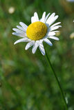 Flor de la margarita en campo Foto de archivo